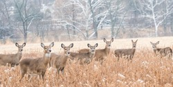 Herd of white-tailed deer in field on winter morning.