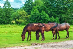 Herd of wild dark brown horses graze on summer green fields by blue sky. Spring landscape with equine group near forest, selective focus