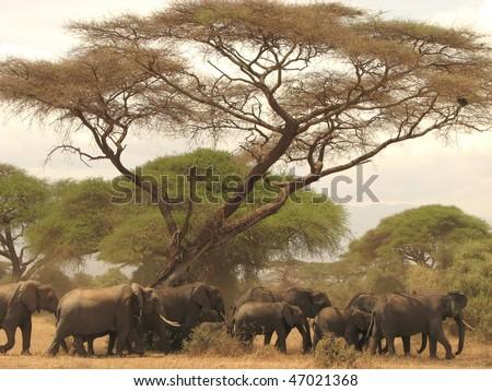 Herd of wild elephants in Kenya's Amboseli national park