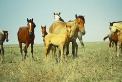 Herd of wild horses in the open field