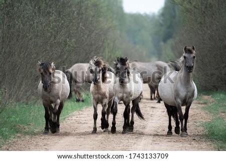 Herd of wild horses running along road. White horses tarpans. Stok fotoğraf ©