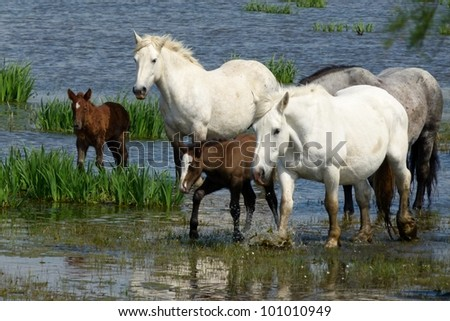 Herd of Wild Horses with Foals, Camarque, South France