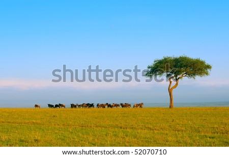 Herd of Wildebeest. Africa. Kenya. Masai Mara