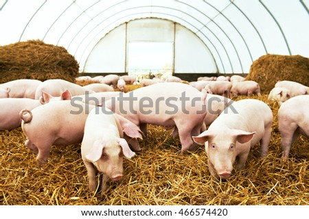 Herd of young piglet at pig breeding farm