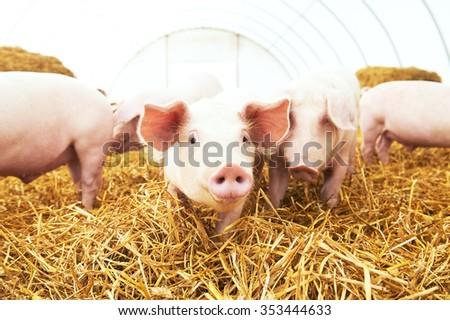 herd of young piglet on hay and straw at pig breeding farm #353444633