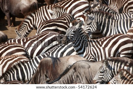 Herd of zebras (African Equids) and Blue Wildebeest (Connochaetes taurinus) crossing the river in nature reserve in South Africa