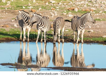 Herd of zebras (Equus Burchelli) drinking at a water hole, Etosha National Park, Namibia, Africa #1226935966