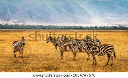 Herd of zebras in the Ngorongoro Crater, Tanzania.