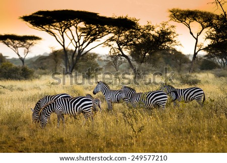Herd of zebras on the african savannah