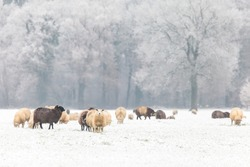 Herd with Dutch sheep in a winter landscape