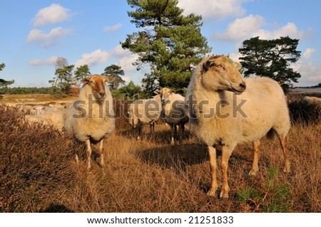 Herd with many sheep in heathland