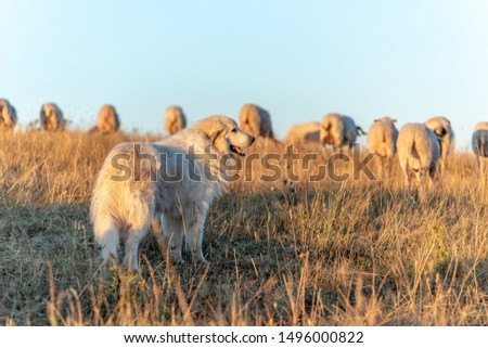Herding dog with sheeps in a pasture #1496000822