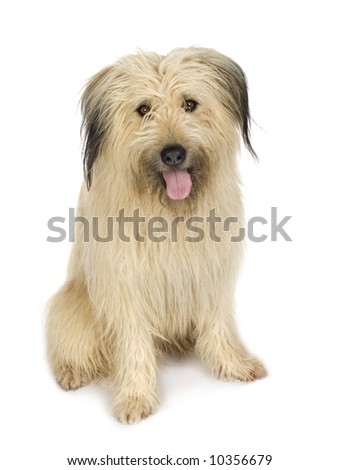 herding dog (4 years) in front of white background