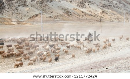 Herds changing from summer pasture to winter pasture in Xinjiang, Chins. Herds of cattle's and sheep are driven by herdsmen. #1211772424