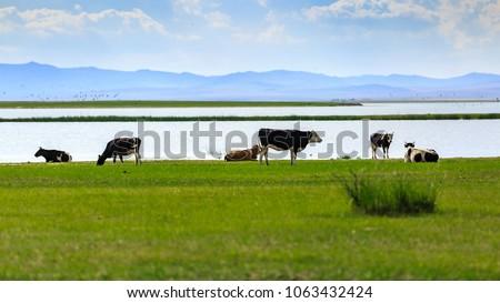 Herds on the grasslands of Inner Mongolia #1063432424
