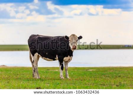 Herds on the grasslands of Inner Mongolia #1063432436
