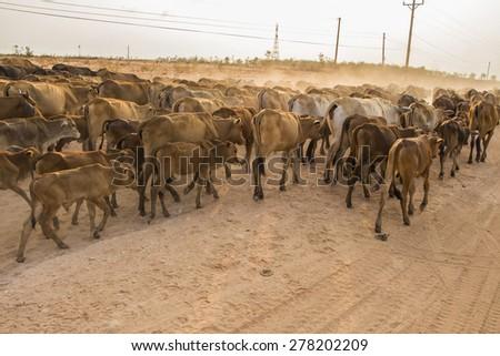 Herdsman Shepherd Cattle at Roadside in MuiNe Vietnam #278202209