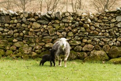Herdwick ewe with lamb in front of a natural stone wall.