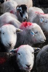 Herdwick sheep in the farmyard at Tilberthwaite. English Lake District