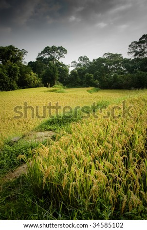 Here are ripe rice with beautiful yellow color.