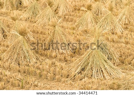 Here are the rice after harvest in Taiwan.