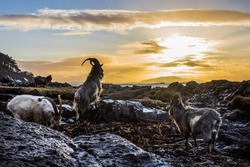 Here four goats (Capra aegagrus hircus) on the Isle of Mull  have travelled down to the shore of the Island at sunrise to eat washed up seaweed, deposited by the low tide.