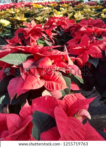 Here is a beautiful set of lovely Poinsettia flowers!