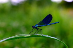 Here we have a macro photography of a wonderful dragonfly on a grass string. It's a blue one and these insects live near rivers.