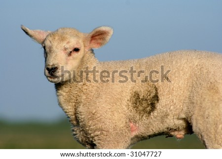 Here you can see a young lamb with a dark brown fleck on the left side.