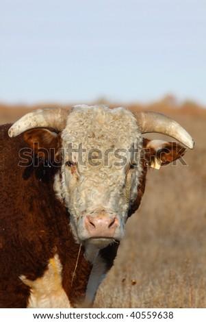 Hereford Bull Portrait