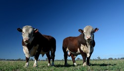 Hereford Bulls standing tall and proud