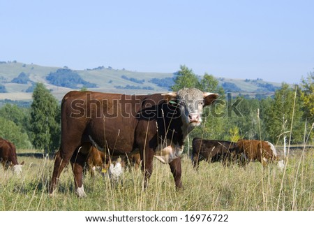 Hereford Cattle Grazing