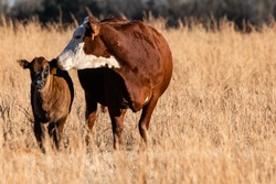 Hereford cow and her crossbred calf in a brown pasture to the left with negative space and room for copy on the right.