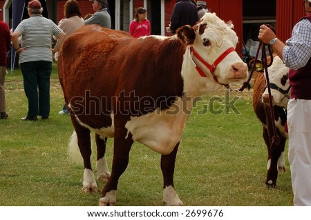 Hereford cow at A & P show