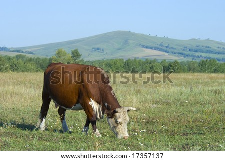 hereford cow on the pasture and hills
