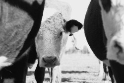 Hereford cow peeking from behind herd of cattle being shy on farm in black and white.