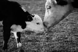 Hereford cows shows mom cow with newborn calf, affection and kiss on head.  Farm animal close up in black and white.
