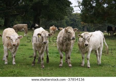 Hereford cross cattle