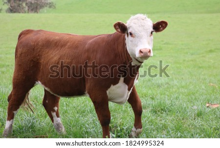 hereford cross heifer grazing with other breeds Сток-фото ©