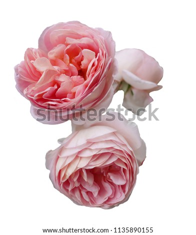 HERITAGE English Rose - bred by David Austin Flower of delicate shell-like beauty. Charming, soft clear pink, cup-shaped flowers. Beautiful fruit, honey and carnation fragrance on a myrrh background.