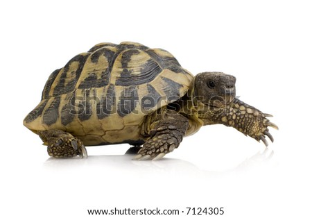 Herman's Tortoise in front of a white backgroung