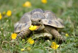Hermann's Tortoise in a garden eating a buttercup