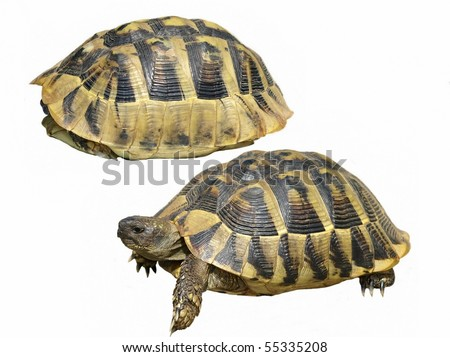 Hermann's Tortoise isolated on a white background