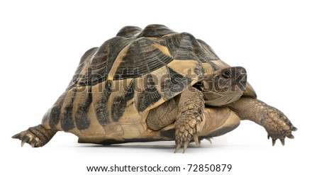 Hermann's tortoise, Testudo hermanni, walking in front of white background