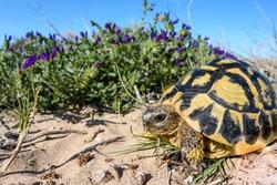 Hermann's tortoise (Testudo hermanni) wideangle