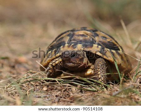 Hermann's Tortoise, turtle in grass