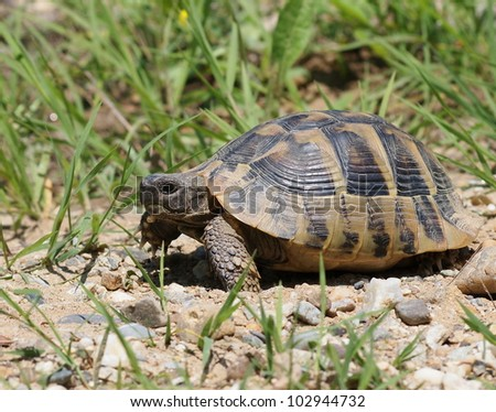 Hermann's Tortoise, turtle in grass,  testudo hermanni