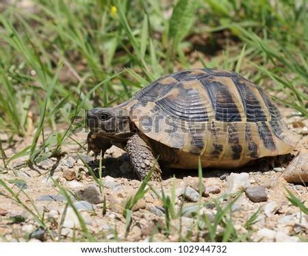 Hermann's Tortoise, turtle in grass,  testudo hermanni