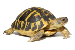 Hermann tortoise in close-up isolated on a white background
