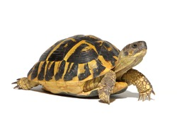 Hermann tortoise turtle d'hermann testudo hermanni isolated white background studio lighting profile view side view entire full whole